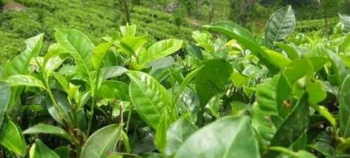 как можно похудеть чайной содой